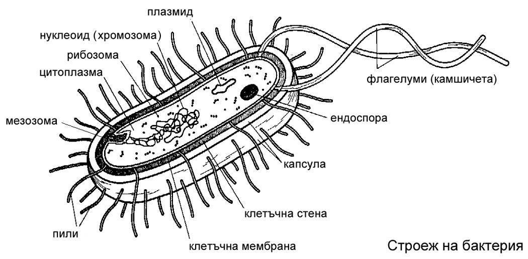 Структура бактериальной клетки