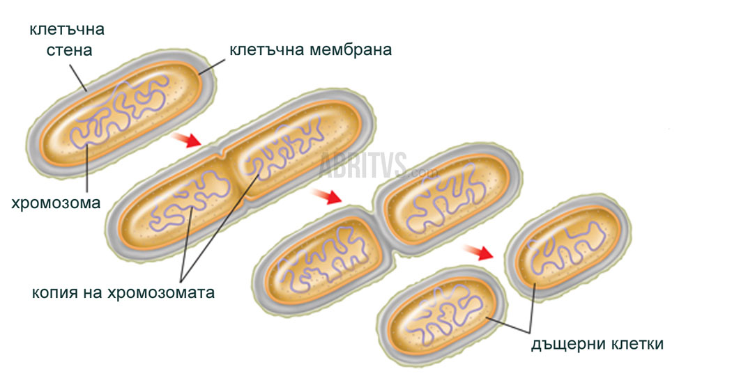 митоза при бактерии
