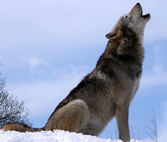 Canis lupus, таксономия, естествена класификация на живите организми