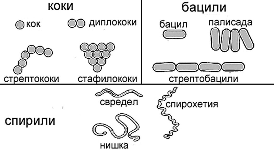 бактерии, прокариотни