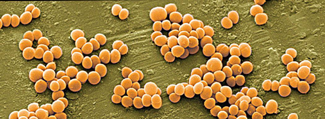 бактерии, стафилококи