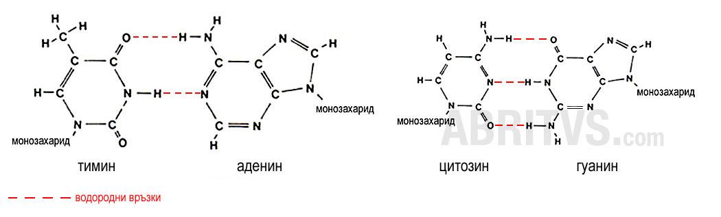 Комплементарност на азотни бази в двойната спирала на ДНК