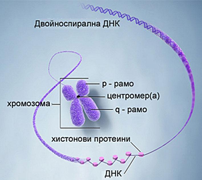 клетъчно ядро