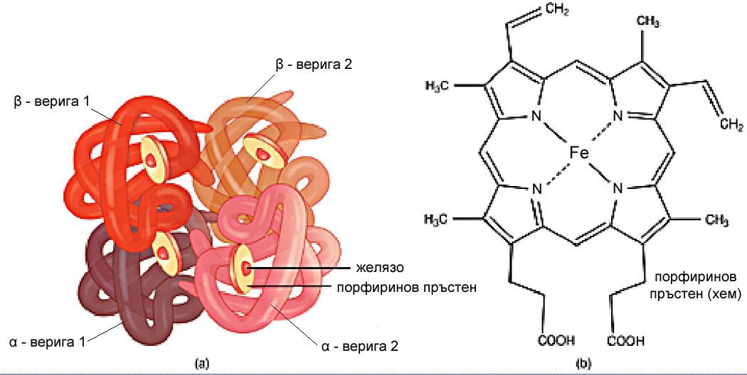 хемоглобин, протеини