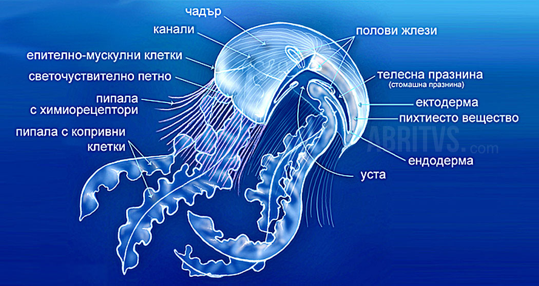 клас Медузи