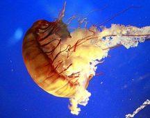 Клас Същински медузи (Scyphozoa) – медуза Аурелия