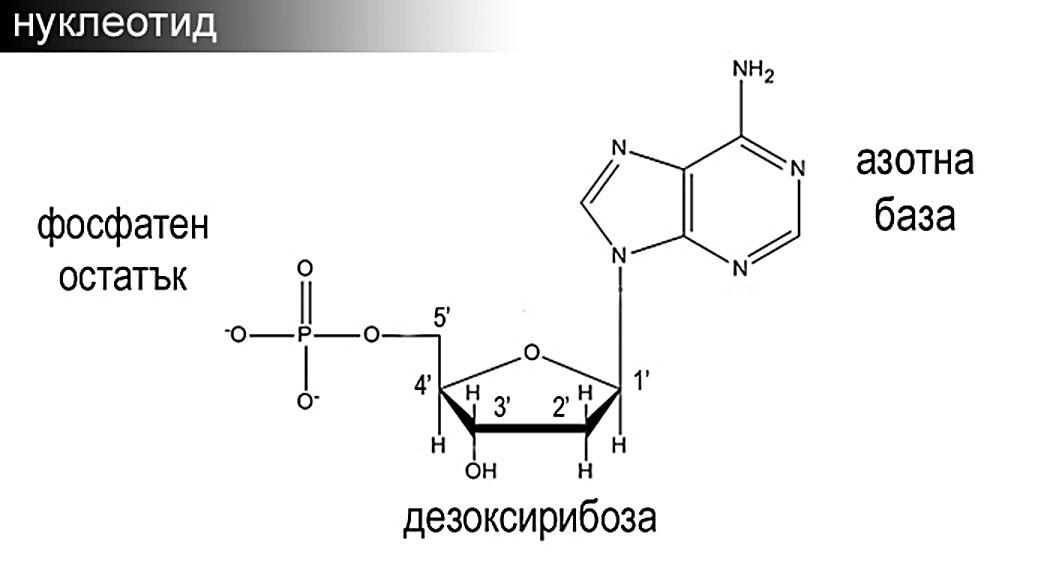 ДНК, нуклеотиди, мононуклеотид
