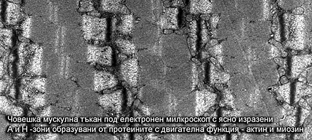микроскопска снимка на мускулна тъкан