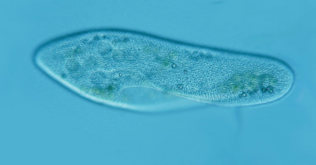 чехълче наблюдавано под светлинен микроскоп