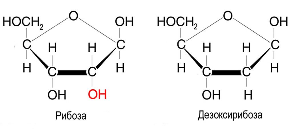 ДНК, пентоза, рибоза, дезоксирибоза