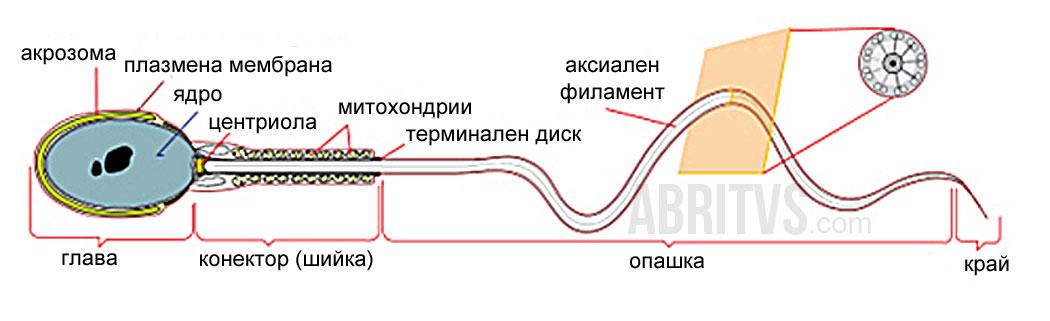 устройство на сперматозоид