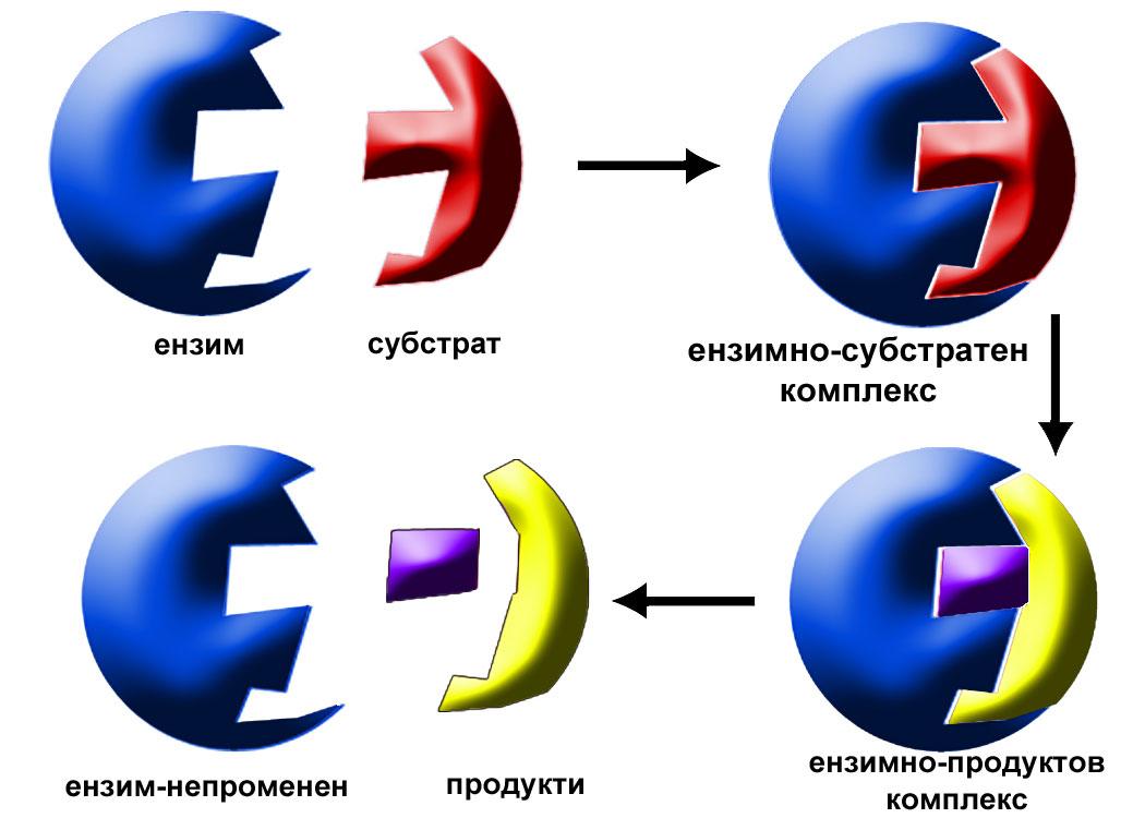 механизъм на ензимното действие, ензими