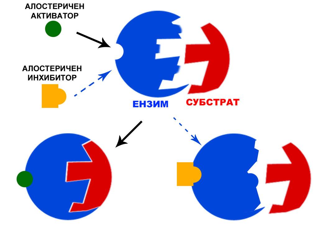 алостерично взаимодействие на активатор и инхибитор, ензими