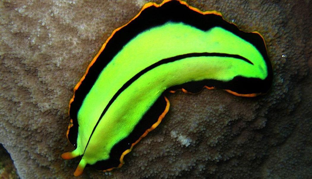Тип Плоски червеи
