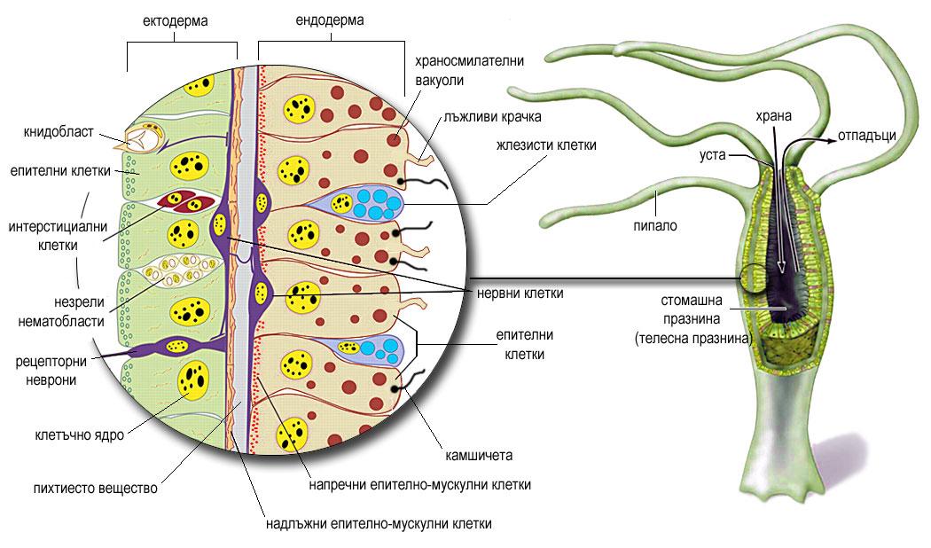 Анатомия на обикновена зелена хидра