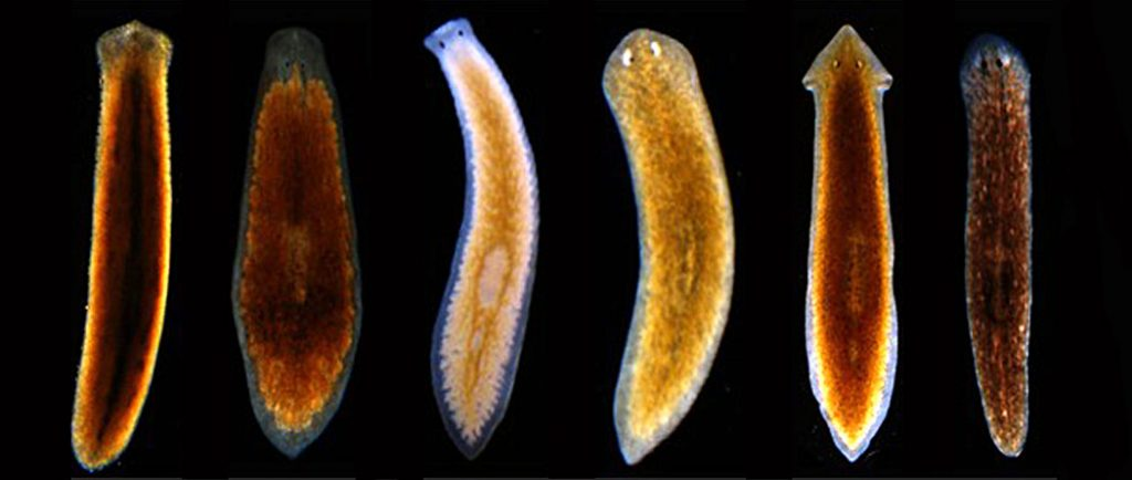 planaria Like those planaria, they have learned something from 1994, when the brady law and the federal assault weapons ban played a major role in turning control of both houses of congress over to the republican party.