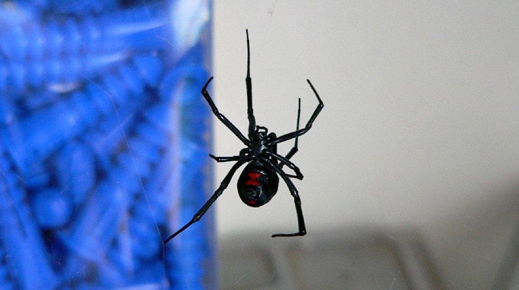Черната вдовица - силно отровен паяк