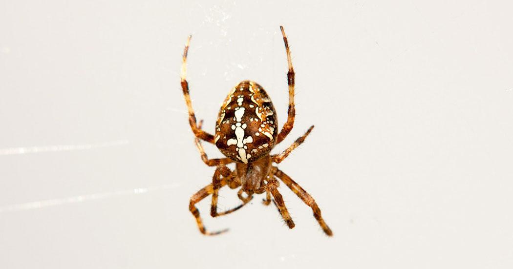 Паяк Кръстоносец (Araneus diadematus) - женски