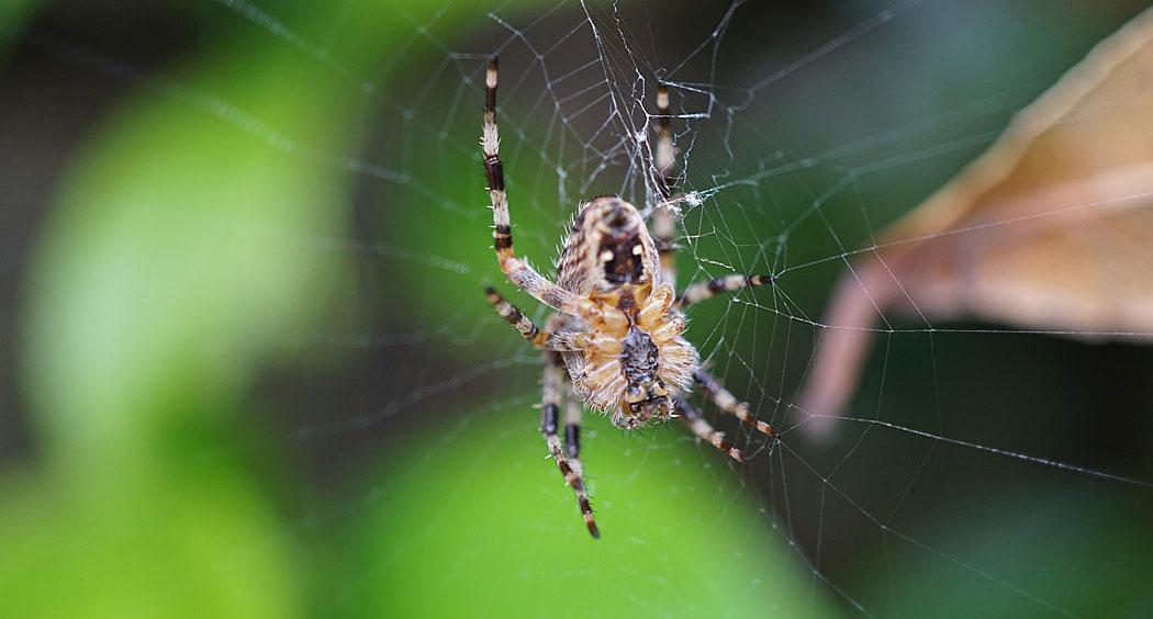 Паяк на паяжина
