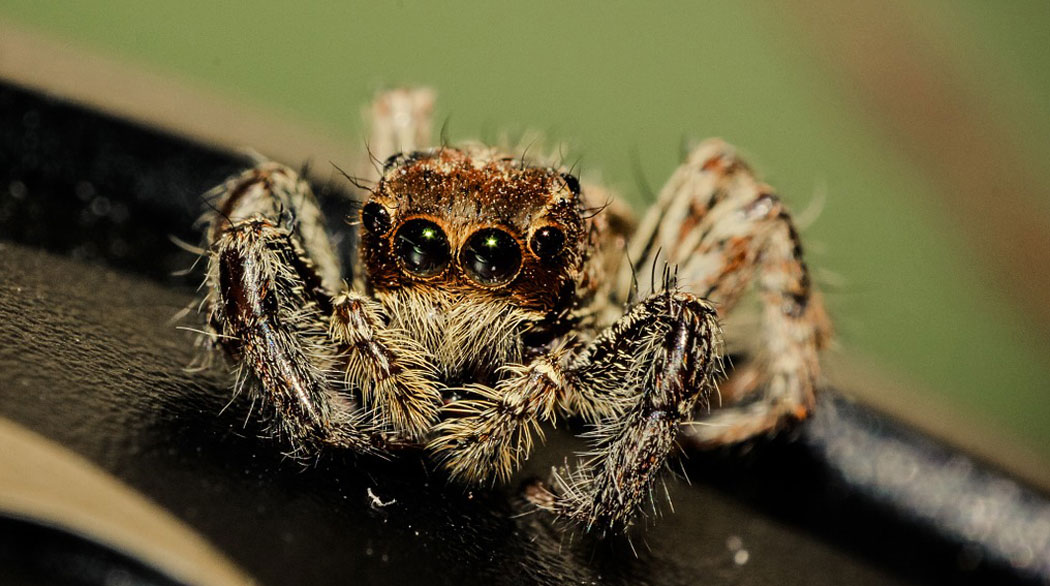 Скачащ паяк с чифт големи очи
