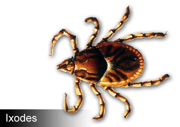 Кучешки кърлеж, Rhipicephalus sanguineus, кърлежи