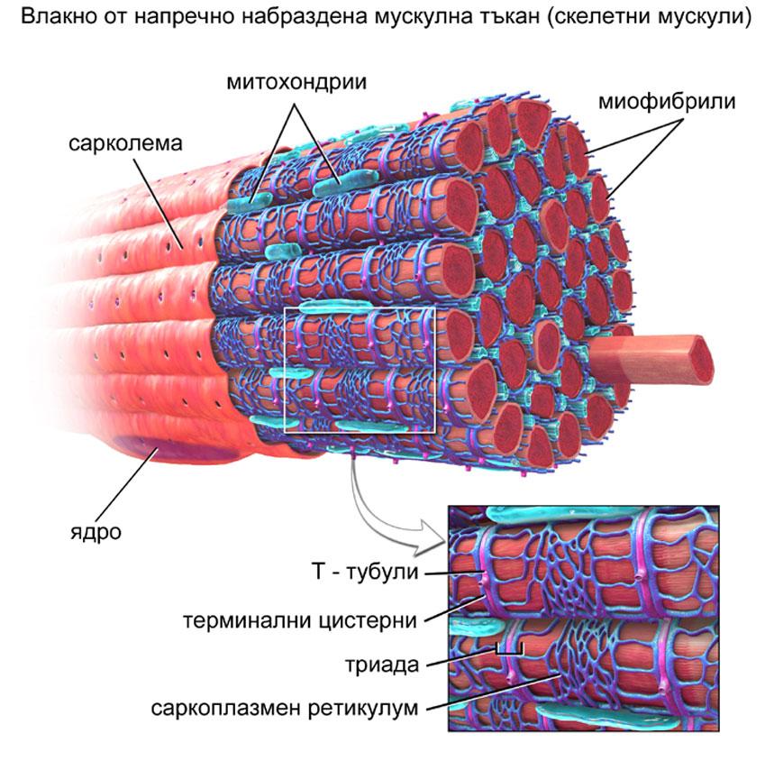 мускулно влакно от напречно набраздена муск. тъкан
