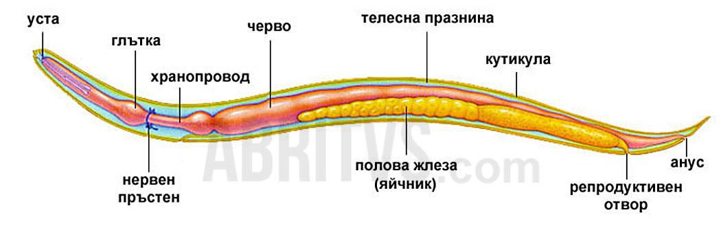 кръгли червеи, детски глист