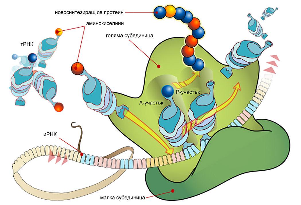 рибозоми, транслация