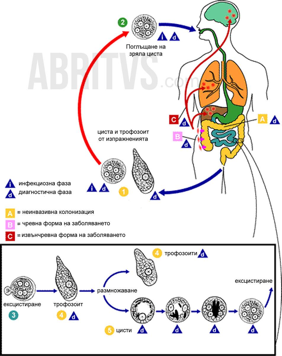дизентерийна амеба