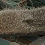 Чехълче (Paramecium caudatum) - тип Ресничести