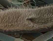 Чехълче (Paramecium caudatum) – тип Ресничести