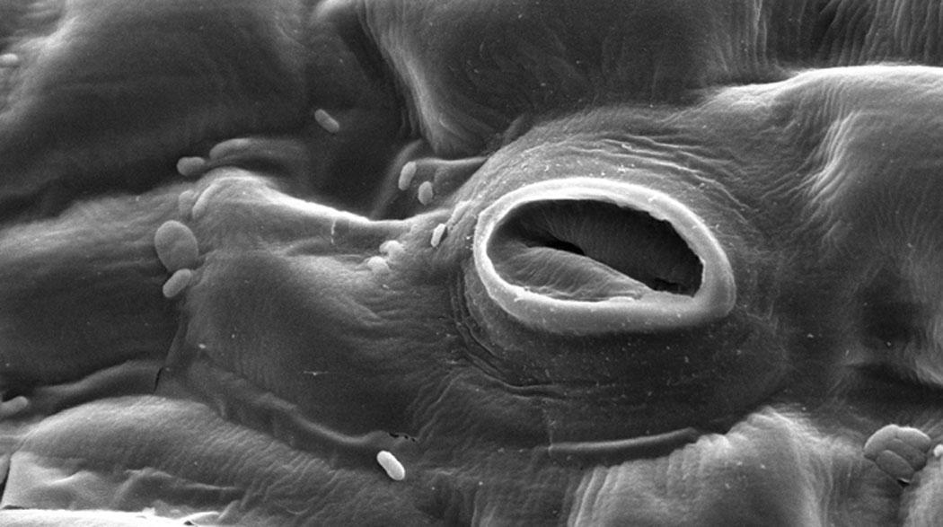 устица, растителни тъкани