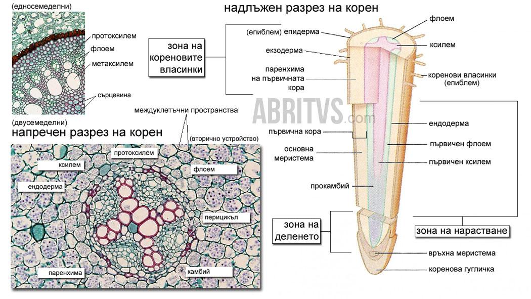 устройство на корен, растителен корен