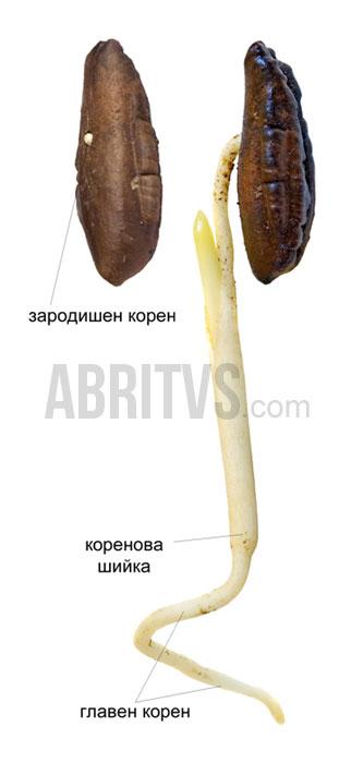растителен корен