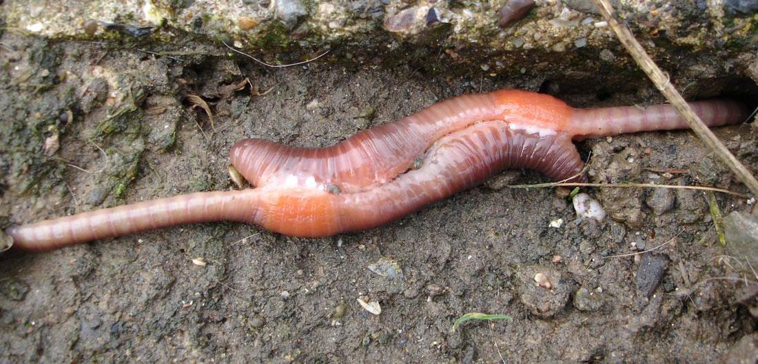 копулация на дъждовни червеи