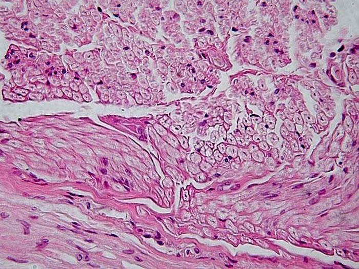 нервна тъкан, животински тъкани