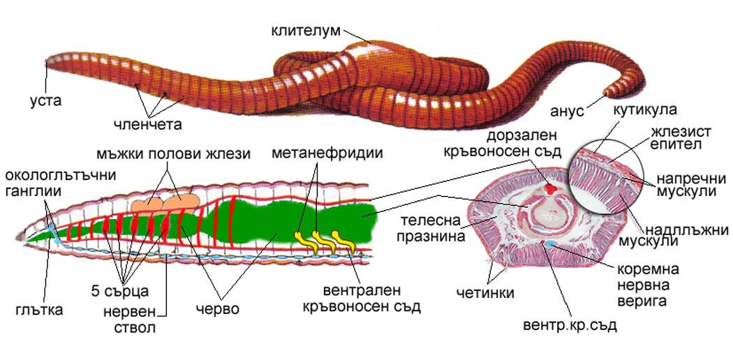 Земен червей
