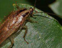 Хлебарка – клас Насекоми – разред Blattodea