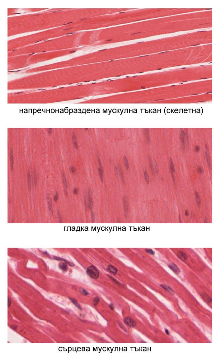 мускулни тъкани