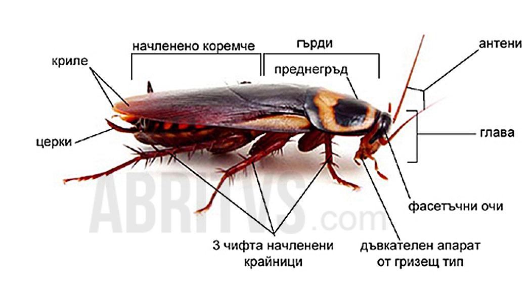 хлебарки, хлебарка, клас насекоми