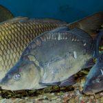 Шаран - клас Костни риби - тип Хордови