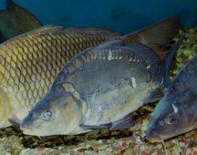 Шаран – клас Костни риби – тип Хордови