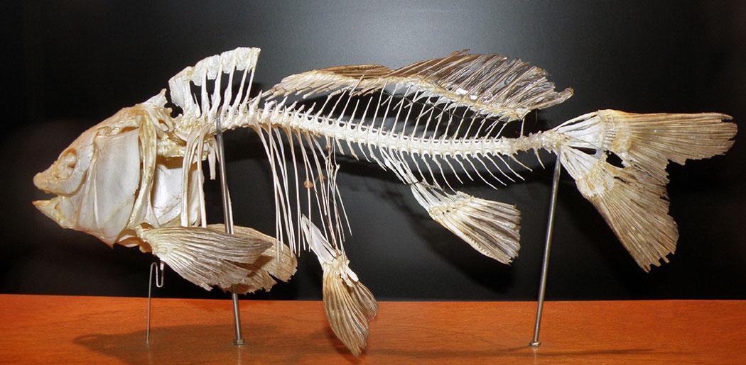 скелет на шаран