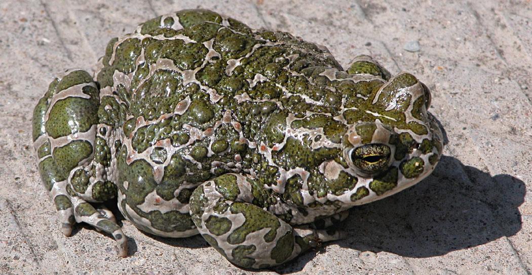 Зелена крастава жаба