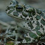 Зелена крастава жаба (Bufo viridis) - клас Земноводни