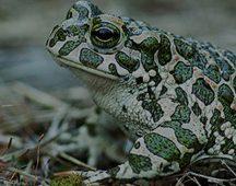 Зелена крастава жаба (Bufo viridis) – клас Земноводни