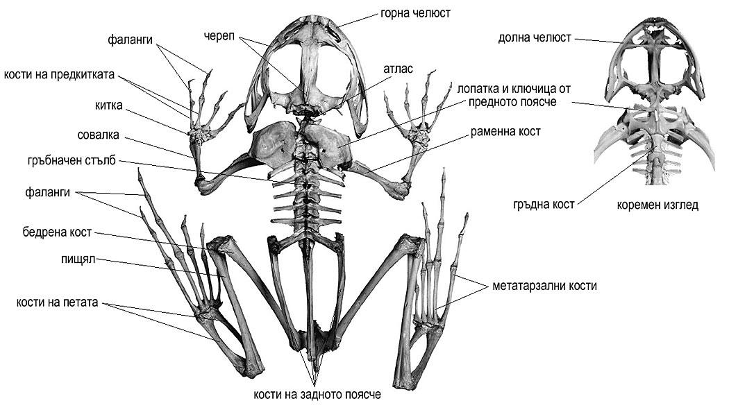 скелет на жаба