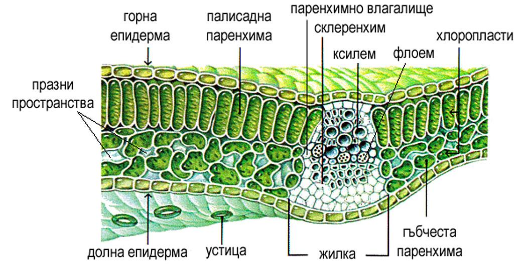 растителен лист - анатомично устройство при напречен разрез
