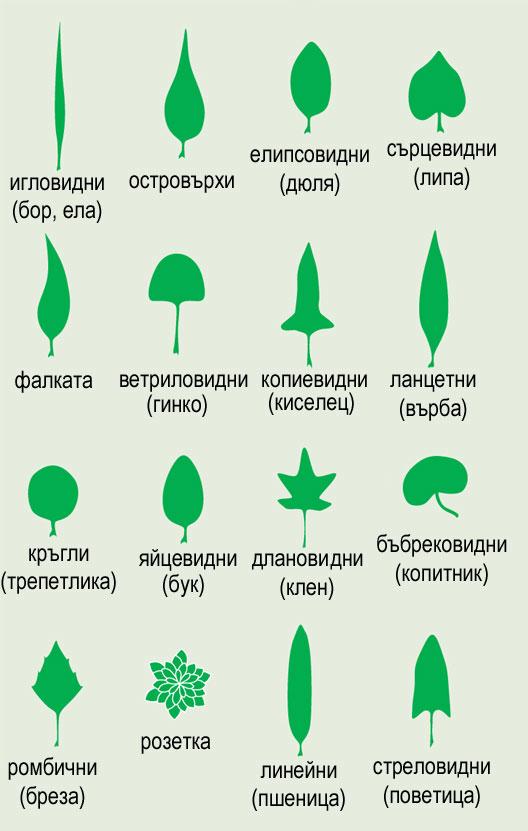 растителен лист