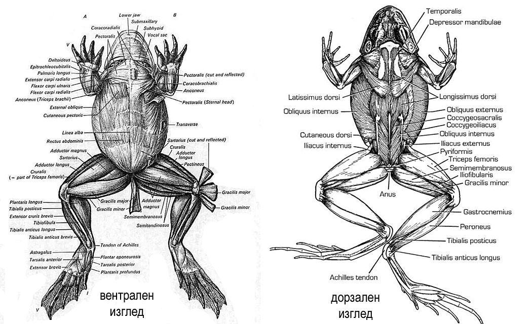 скелетни мускули на жаба